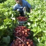u.s. child farmworkers 2