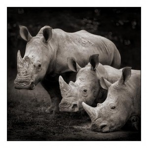 04_three-rhinos